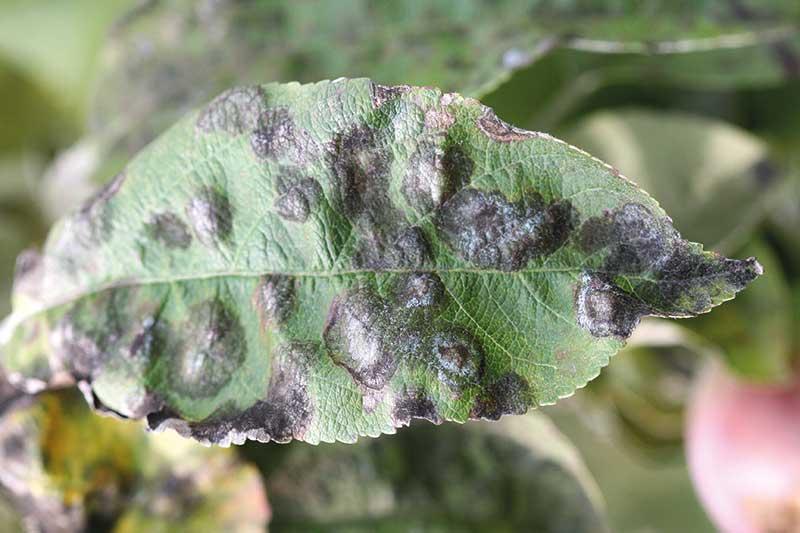 FOT. 2. Objawy parcha na liściu z sadu chronionego chemicznie