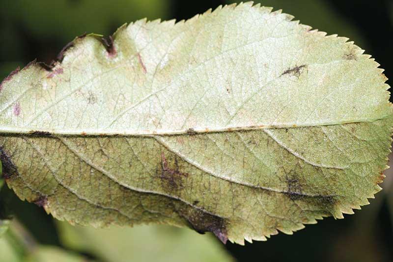 FOT. 3. Porażony liść z obfitym zarodnikowaniem konidialnym