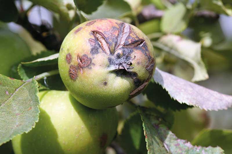 FOT. 4a. Objawy parcha na jabłkach odmiany 'Jonagold' w połowie sierpnia po wykonaniu 12 zabiegów fungicydami