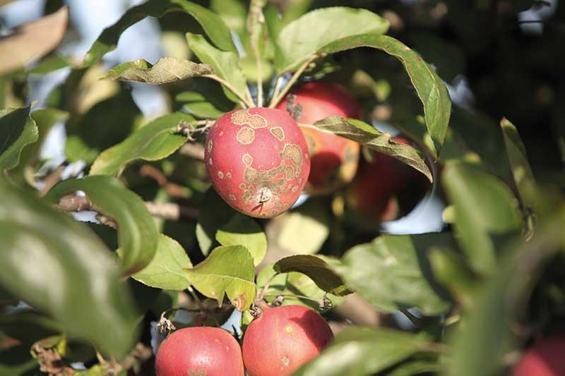 FOT. 4b. Objawy parcha na jabłkach odmiany 'Jonagold' przed zbiorem