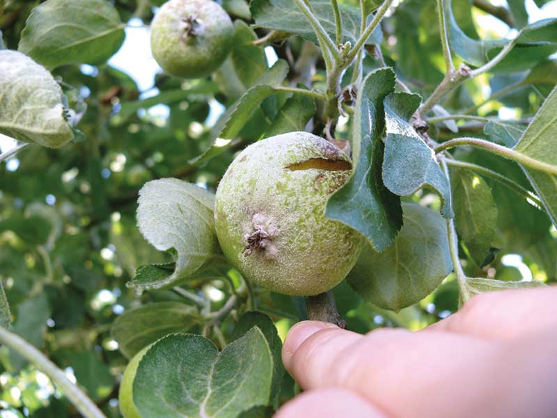 FOT. 2b. Objawy mączniaka jabłoni na zawiązkach