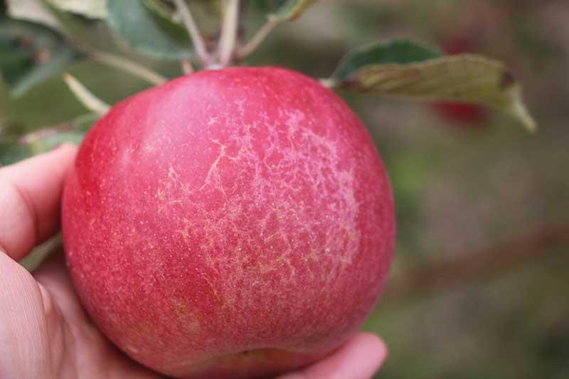 FOT. 2c. Objawy mączniaka jabłoni na owocach