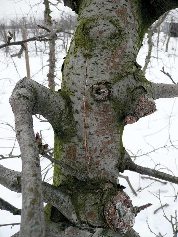 FOT. 3. Pęknięcie pnia na skutek mrozu stanowi wrota do wnikania patogenów powodujących choroby kory i drewna