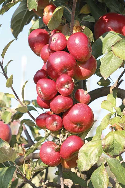 FOT.5b. Porazik jabłoniowo-babkowy i efekt jego żerowania – drobne owoce