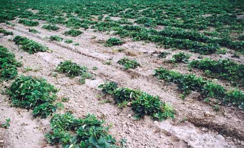 Fot. 1. Przerzedzenie rzędów roślin w efekcie żerowania pędraków