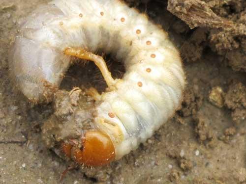 Fot. 2. Chrabąszcz majowy – pędrak