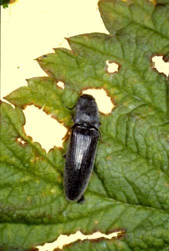 Fot. 3. Osiewnik rolowiec – chrząszcz na liściu maliny