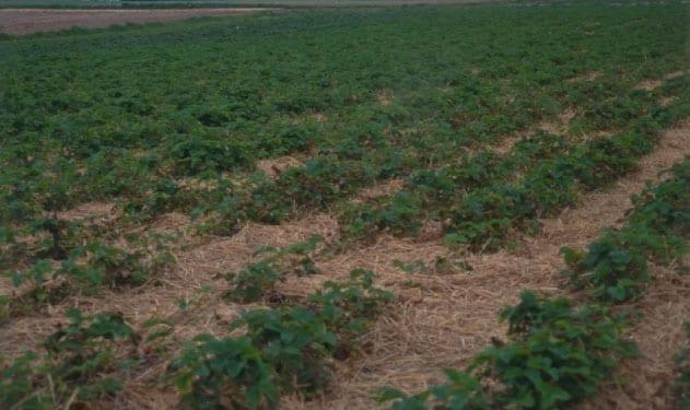 Fot. 6. Obecność larw opuchlaków na plantacji objawia się placowym zamieraniem roślin truskawek
