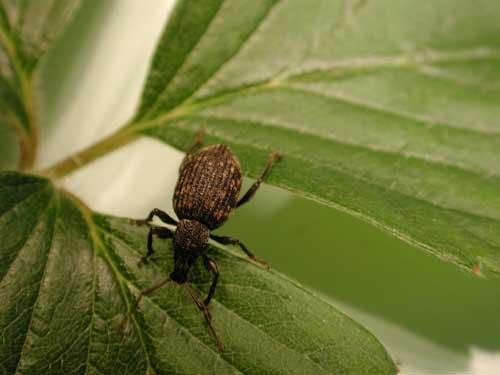 Fot. 7. Opuchlak truskawkowiec na liściu truskawki