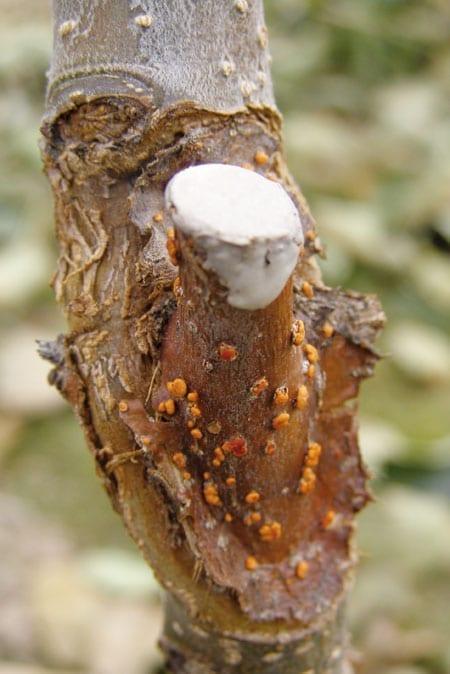 Fot. 1. Objawy zgorzeli kory na przyciętym okulancie jabłoni z jasnopomarańczowymi brodawkami gruzełka cynobrowego