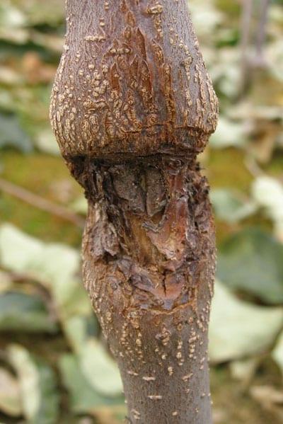 Fot. 4b. Rak kory drzew ziarnkowych: patogen na całym obwodzie pędu głównego