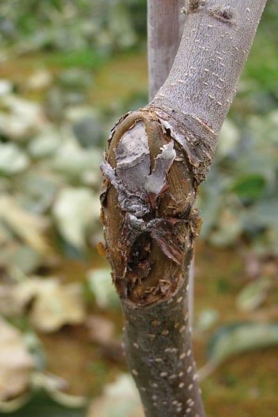 Fot. 6a. Zgorzel kory: na przyciętym okulancie jabłoni