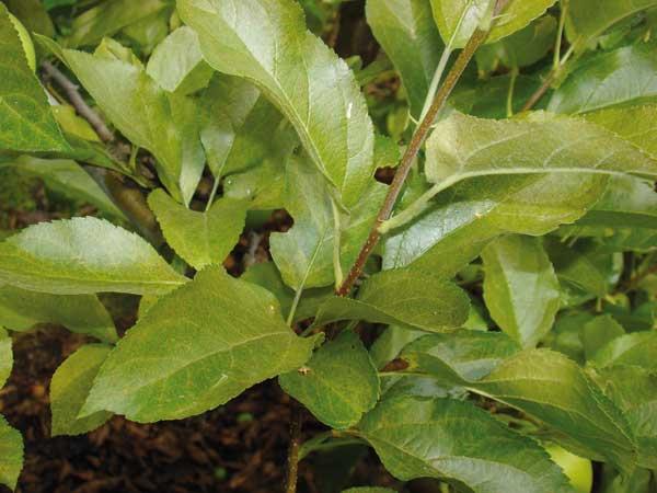 Fot. 1. Liście jabłoni uszkodzone przez przędziorka owocowca