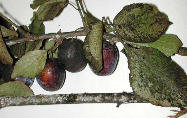 Fot. 3. Uszkodzenia spowodowane żerowaniem misecznika śliwowego latem