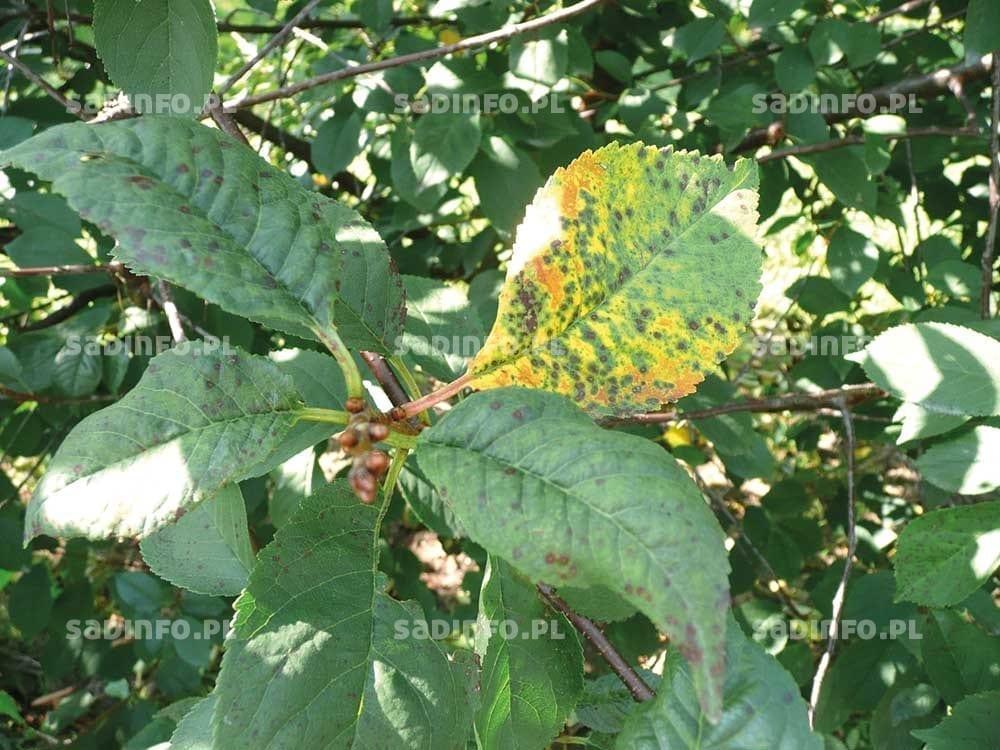 FOT. 8. Drobna plamistość liści drzew pestkowych na liściach wiśni…
