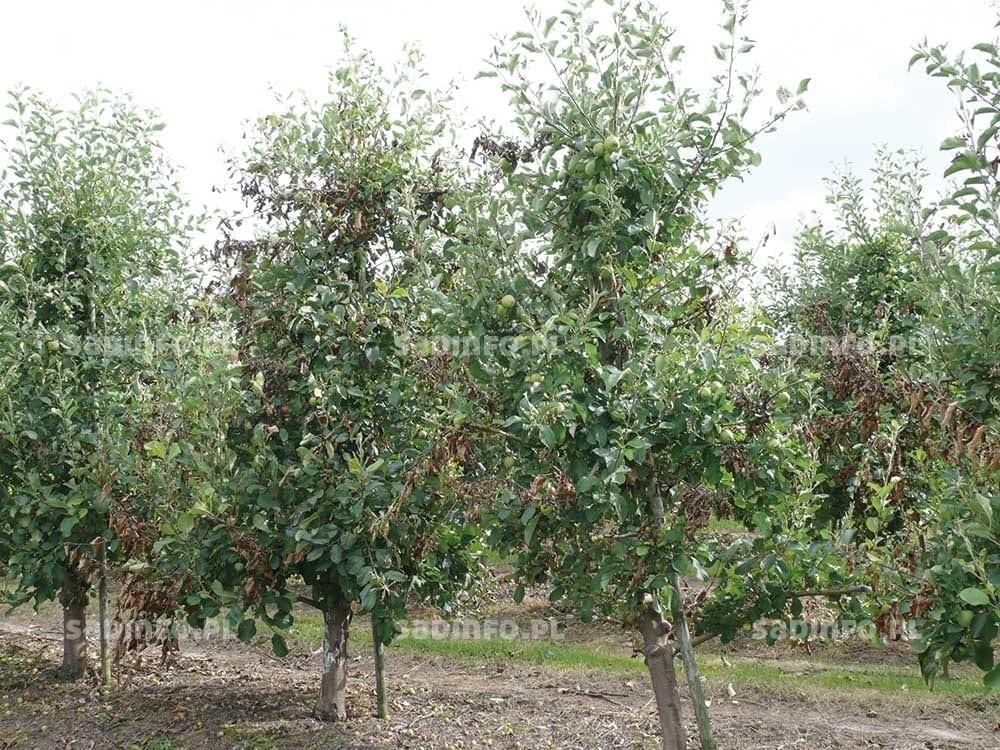 FOT. 5a. Objawy zarazy ogniowej z 2013 r. na jabłoniach