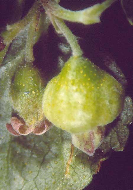 Fot. 6. Pąk porzeczki uszkodzony przez pryszczarka porzeczkowiaka kwiatowego