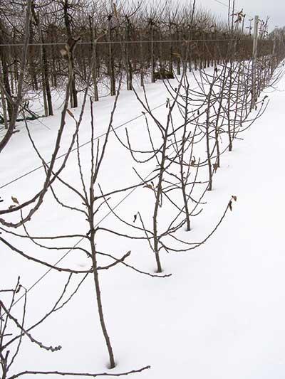 FOT. 2. Drzewka kontrolne – nawożone standardowym programem