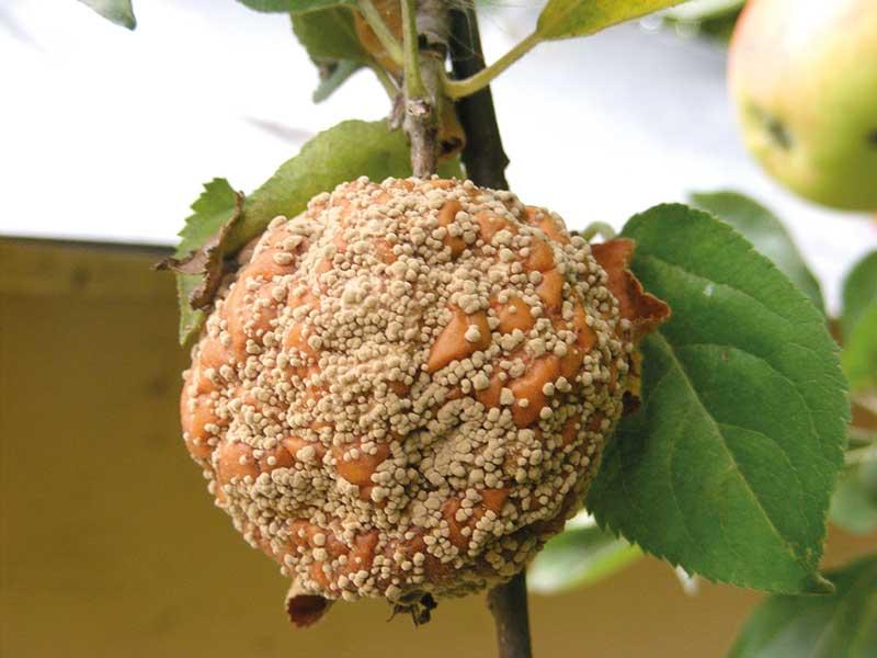 FOT. 1a. Objawy brunatnej zgnilizny owoców na jabłku