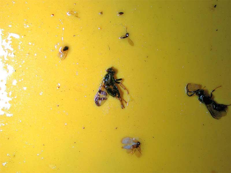 FOT. 1a. Muchę nasionnicy trześniówki łatwo odróżnić po charakterystycznym wzorze na skrzydle