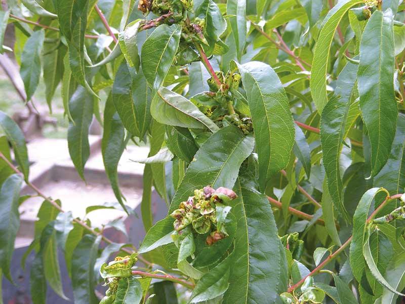 FOT. 2. Liście skędzierzawione przez żerowanie mszycy brzoskwiniowej