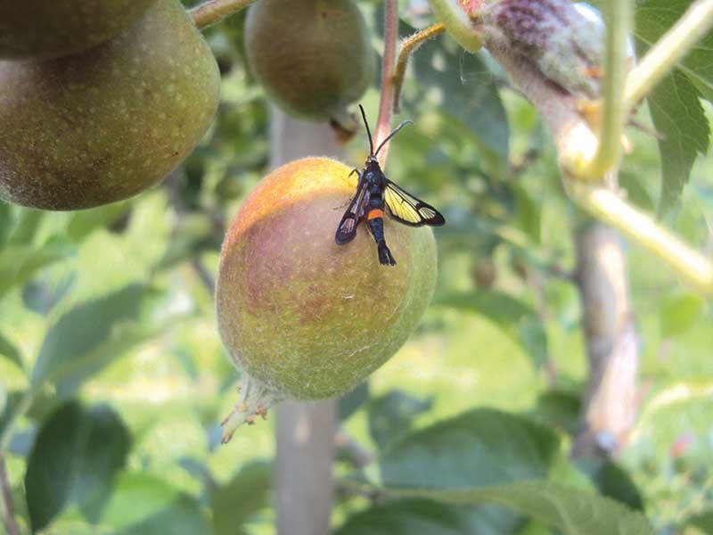 FOT. 4. Motyl przeziernika jabłoniowca