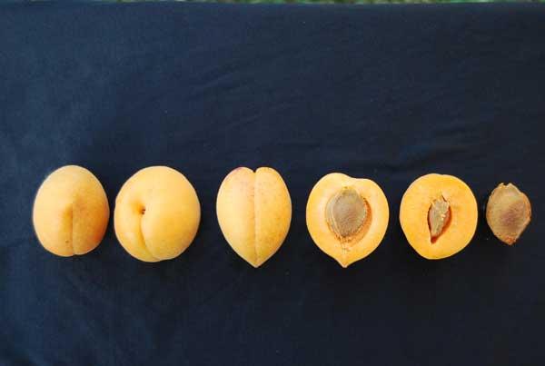 Fot. 11. Owoce odmiany 'Wczesna z Morden'