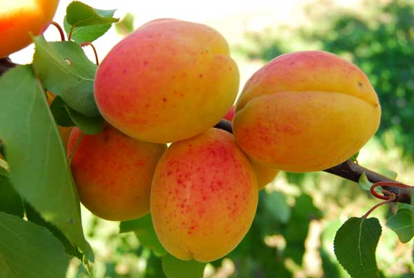 Fot. 17. Owoce odmiany 'Darina'