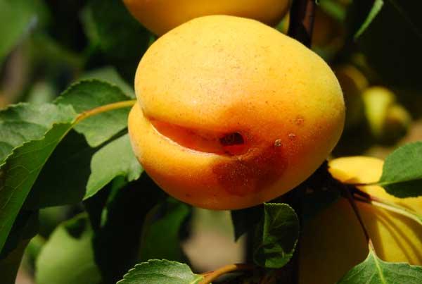 Fot. 3. Niektóre owoce odmian wczesnych, jak np. 'Sambirskij' mają tendencję do pękania na wierzchołku i wzdłuż bruzdy