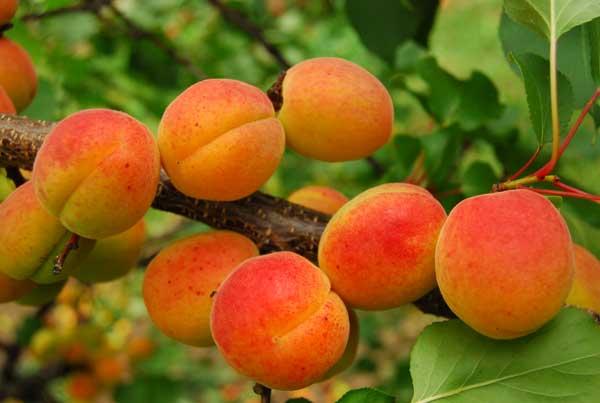 Fot. 4. Owoce odmiany 'Melitopolska Wczesna'