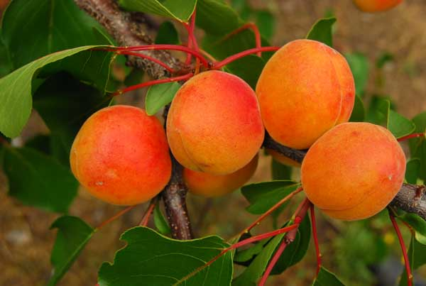 Fot. 5. Owoce odmiany 'Orangered'
