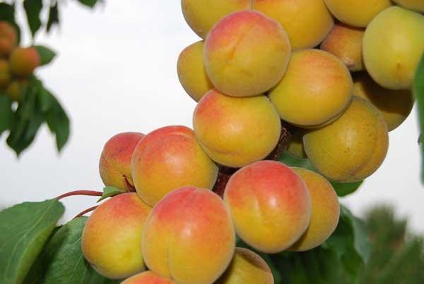 Fot. 6. Owoce odmiany 'Early Orange'