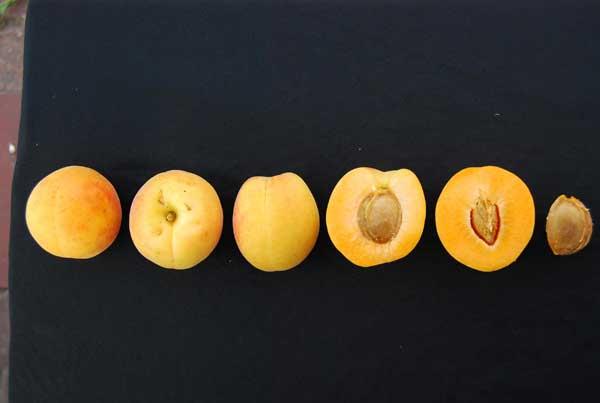 Fot. 8. Owoce i pestka odmiany 'Pietropawłowskij'