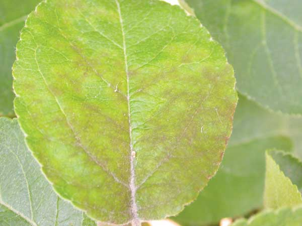 Fot. 1a. Objawy parcha jabłoni na liściu