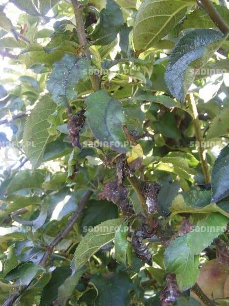 FOT. 3. Grzyby sadzakowe na liściach i pędach jabłoni