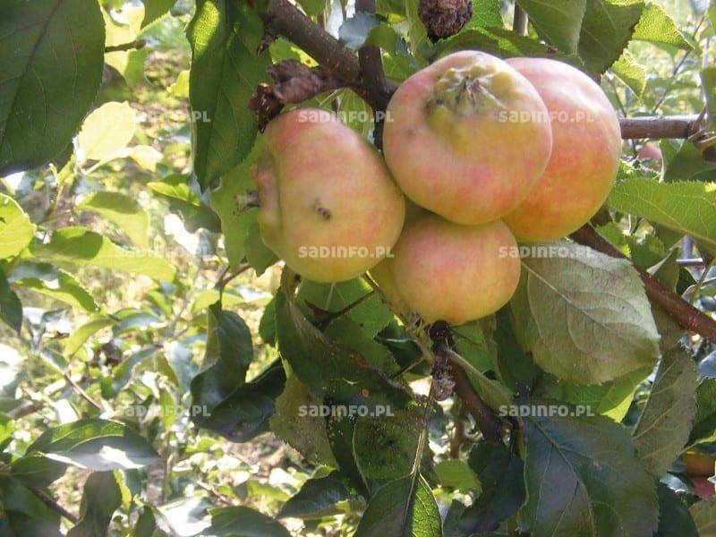 FOT. 5. i …zdeformowane przez niego jabłka