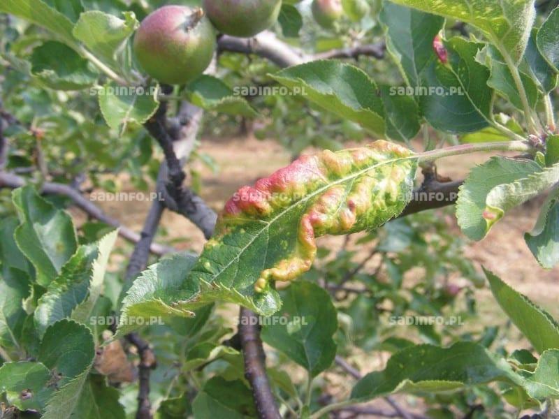 FOT. 6. Liście uszkodzone przez porazika jabłoniowo-szczawiowego