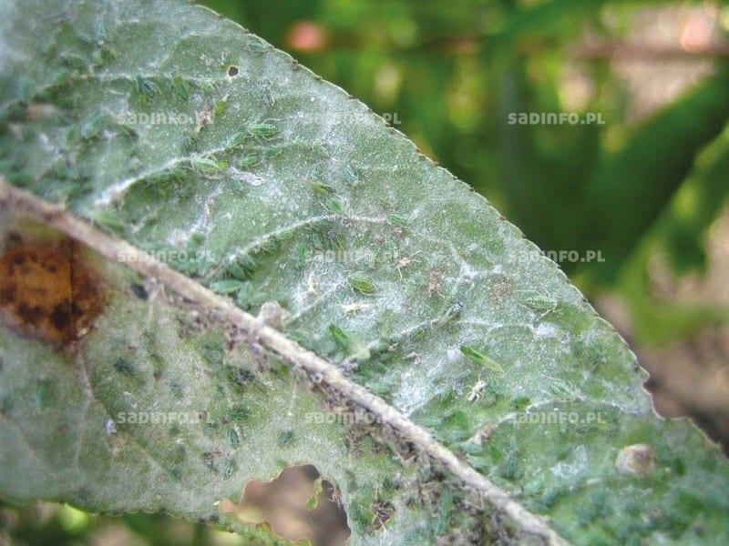 FOT. 8a. Mszyca brzoskwiniowo-trzcinowa na brzoskwini