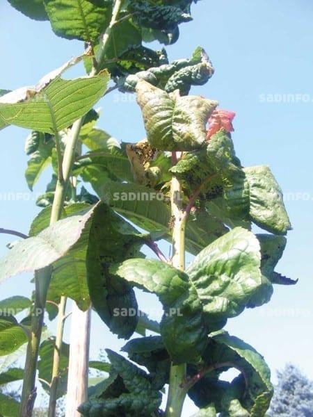 FOT. 9. Mszyca wiśniowa na czereśni