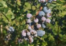 Zadbaj o plantację borówki po zbiorach owoców