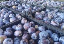 Po zakończeniu zbiorów Lepoticy ceny śliwek rosną