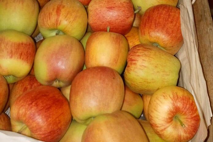 celeste odmiana jabłoni