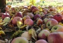 Polska to główny odbiorca ukraińskiego koncentratu jabłkowego…