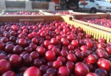 Wiśnie na tłoczenie – ceny dochodzą do 1,50 zł/kg