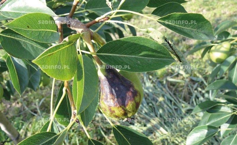 FOT. 2. Zaraza ogniowa – owoc z wodnistymi zmianami miąższu