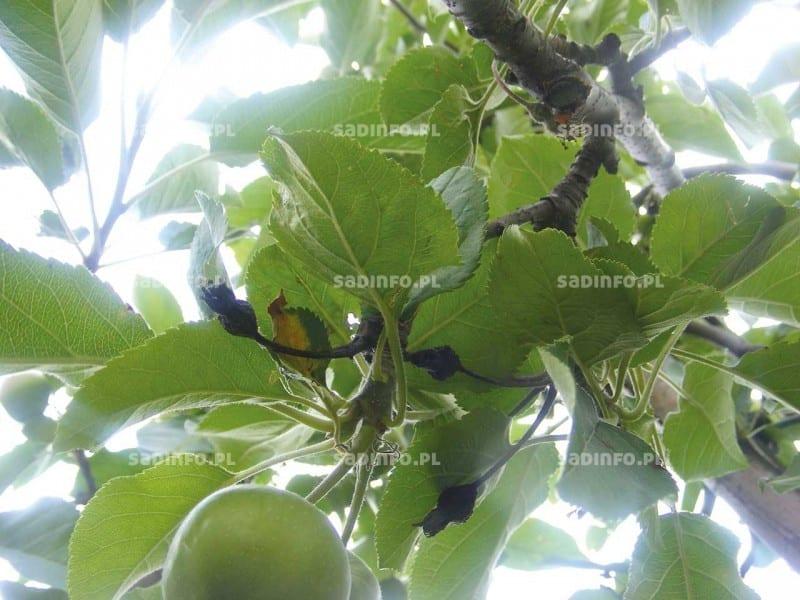 FOT. 5b. Objawy raka bakteryjnego na jabłoni