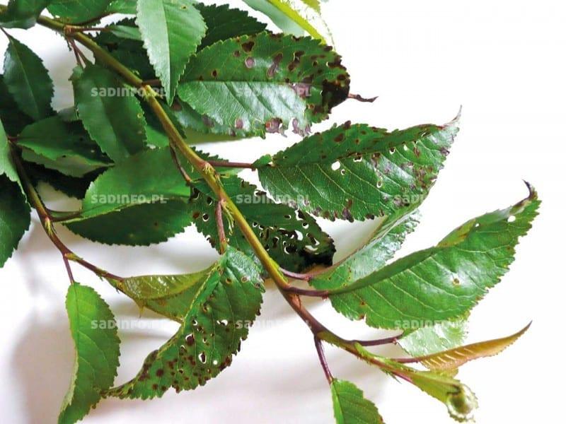 FOT. 6. Dziurkowatość liści na wiśni na skutek porażenia rakiem bakteryjnym