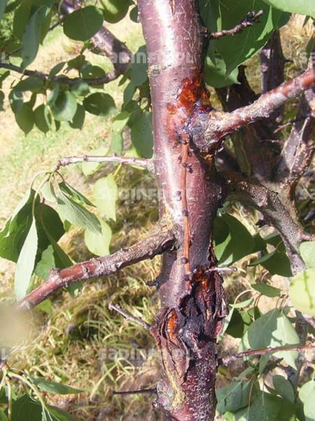 FOT. 7. Objawy raka bakteryjnego na pniu moreli