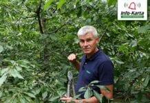 Zabiegi pozbiorcze i cięcie sadów czereśniowych – komunikat sadowniczy Agrosimex, 11.08.2020