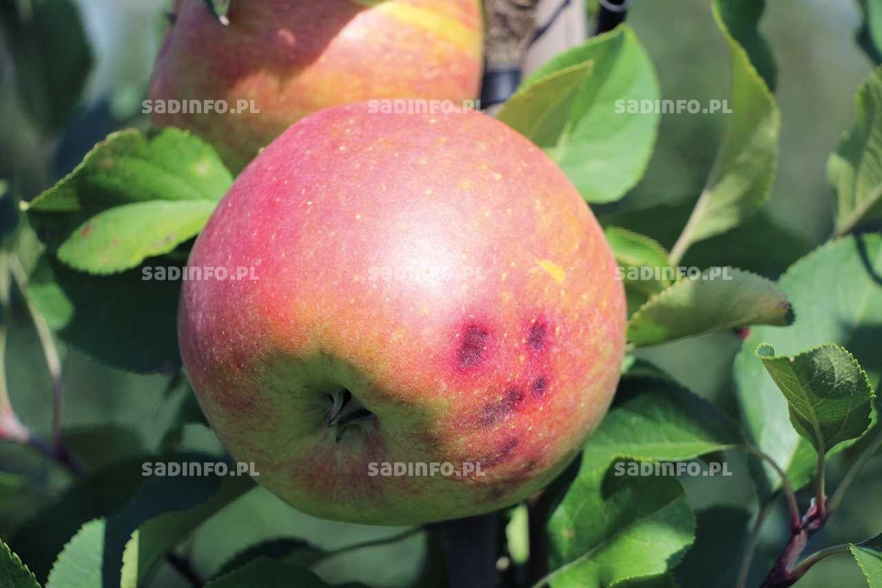 FOT. 1a. Gorzka plamistość podskórna na jabłkach przed zbiorem